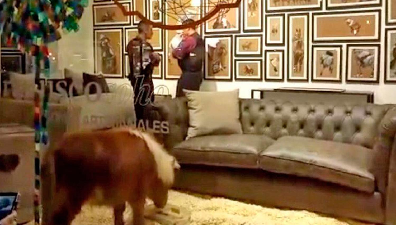 Polémica por exhibición de un pony en una mueblería porteña