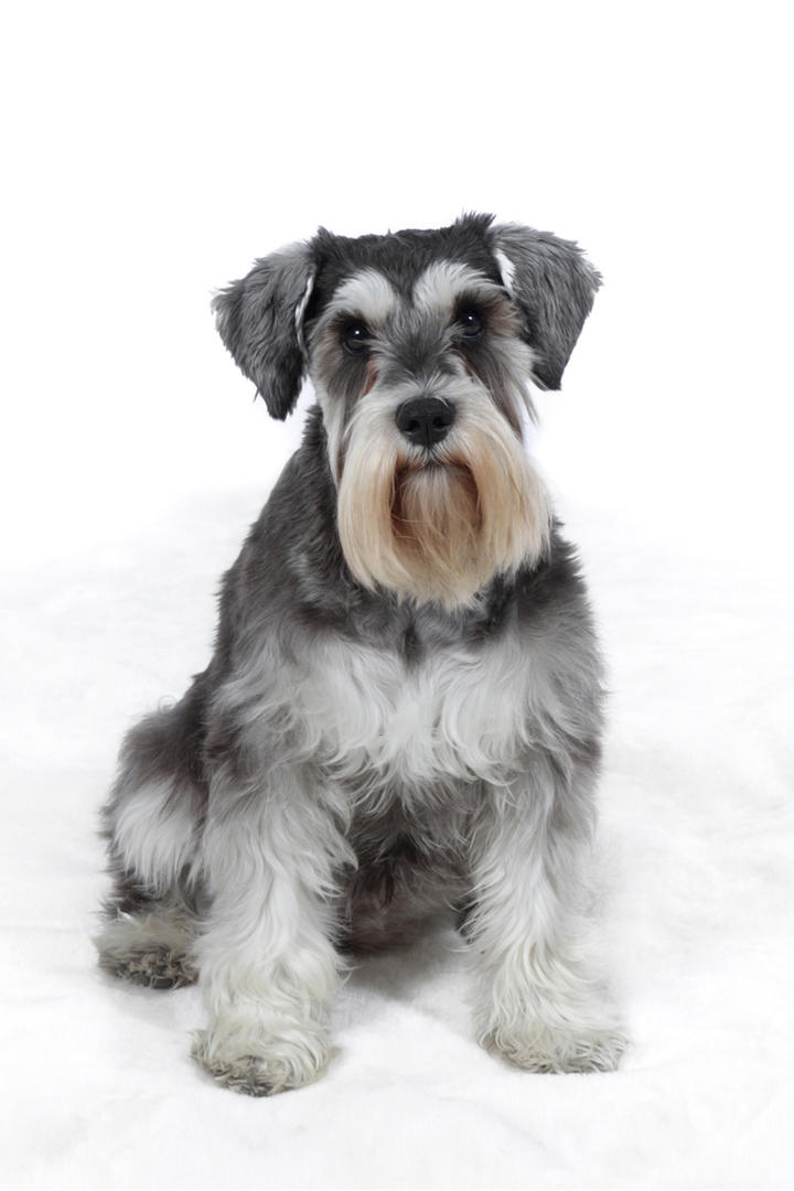 Show Me Pictures Of Schnauzer Dogs