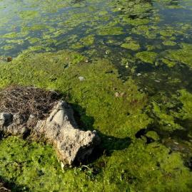 Verde y muy bajo: el estado del lago del parque 9 de Julio