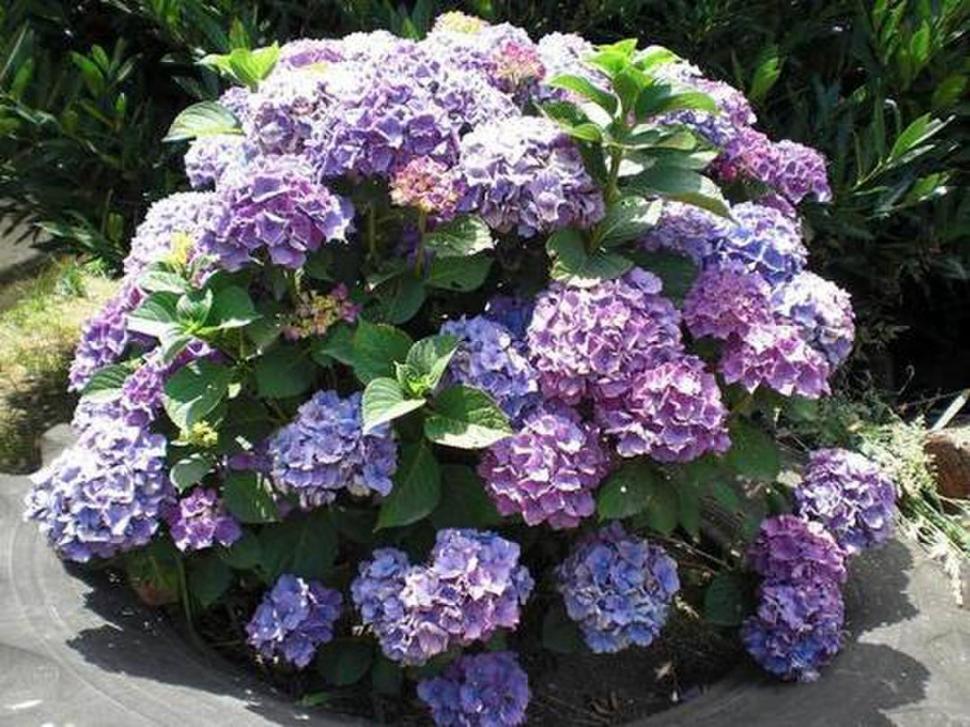 Si en tu jard n crece alguna de estas plantas es mejor - Hortensias cuidados maceta ...
