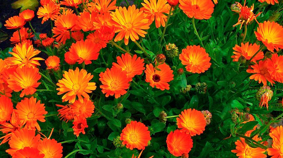 Cinco recetas para cocinar con flores la gaceta tucum n - Flores para cocinar ...