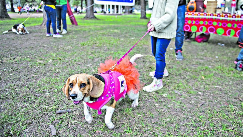 Perritos Beagle desfilaron disfrazados de superhéroes