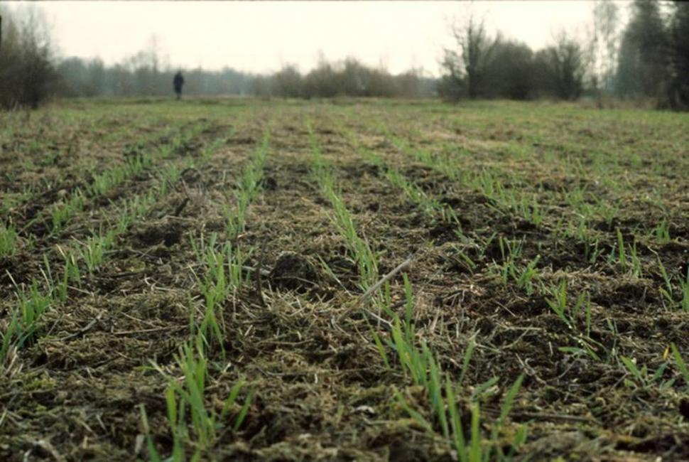 NACEN. Las plantas de trigo ya comenzaron a emerger en algunos campos.