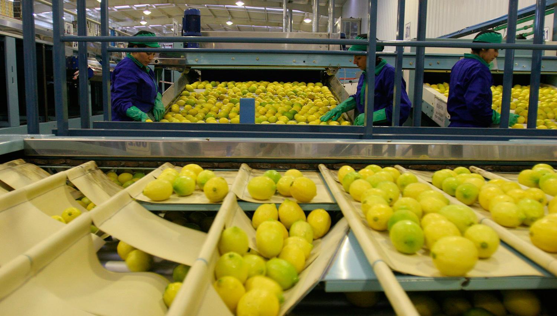 El limón ya viaja hacia México, otro destino exportador