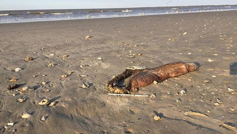 Mirá las fotos de la monstruosa criatura con dientes que arrastró el huracán Harvey