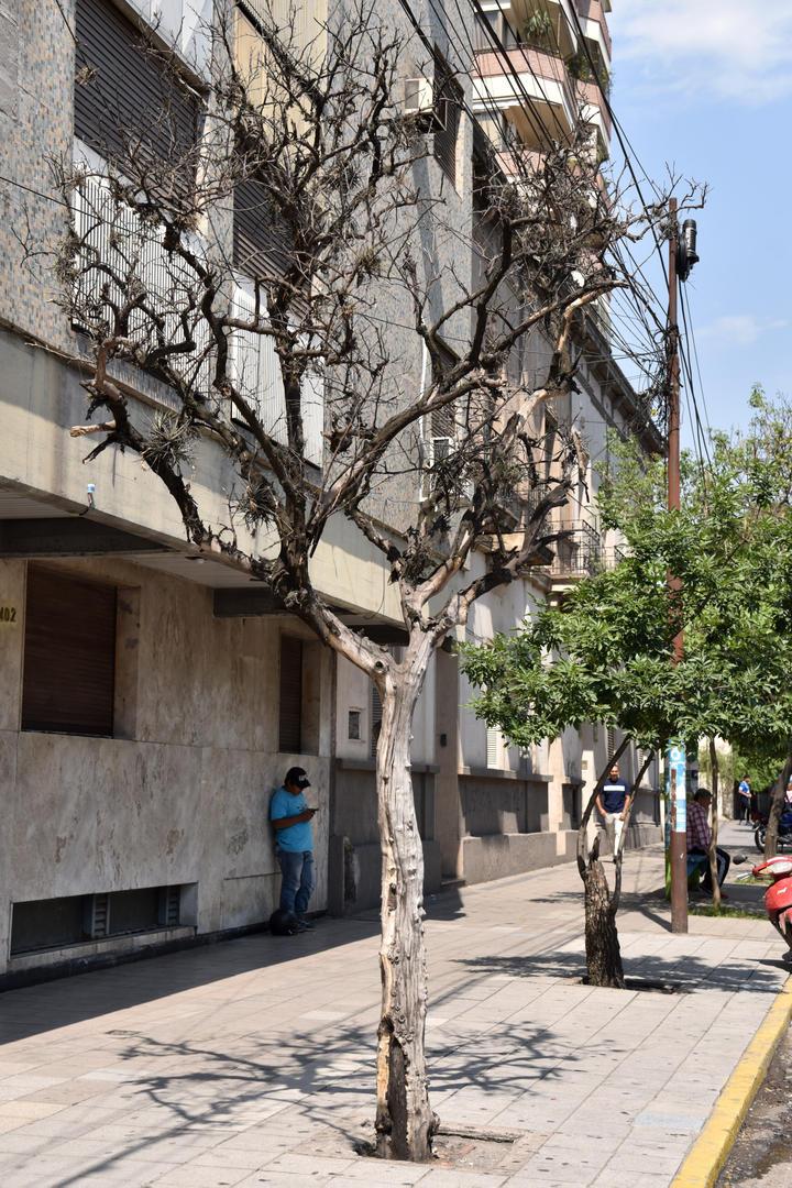 PELADO. Este ejemplar de avenida Sarmiento y Laprida no ha florecido, en contraste con los que lo rodean. LA GACETA / FOTOS DE INÉS QUINTEROS ORIO.-