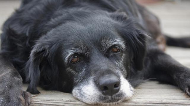 Resultado de imagen para perros ancianos