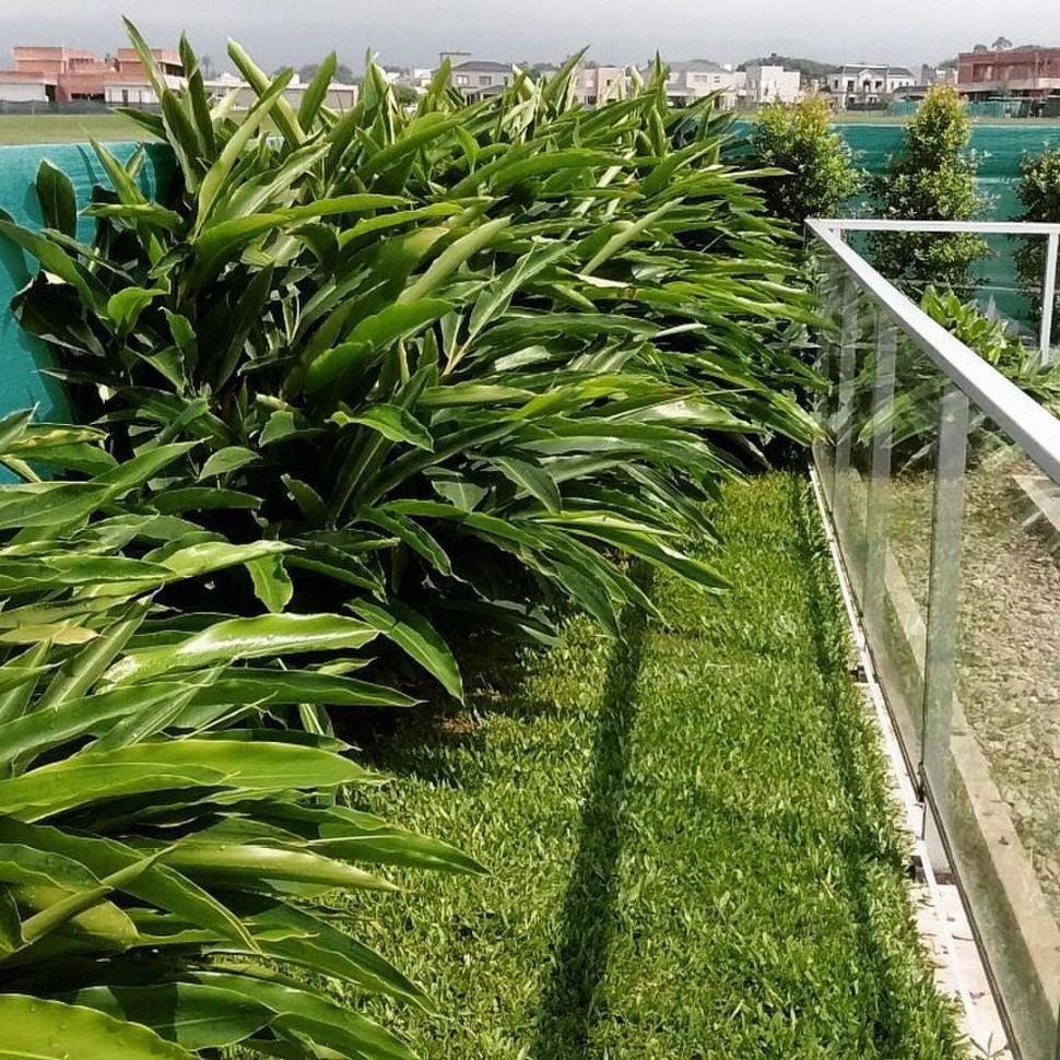 DE CLIMA TROPICAL. Alpinia zerumbet es una planta de exterior que se adapta bien al verano tucumano.