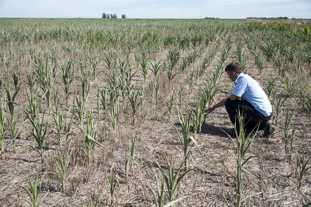 PÉRDIDAS. La falta de lluvias en las tierras productivas coincide con la etapa de siembra y desarrollo de la soja.  lanacion.com