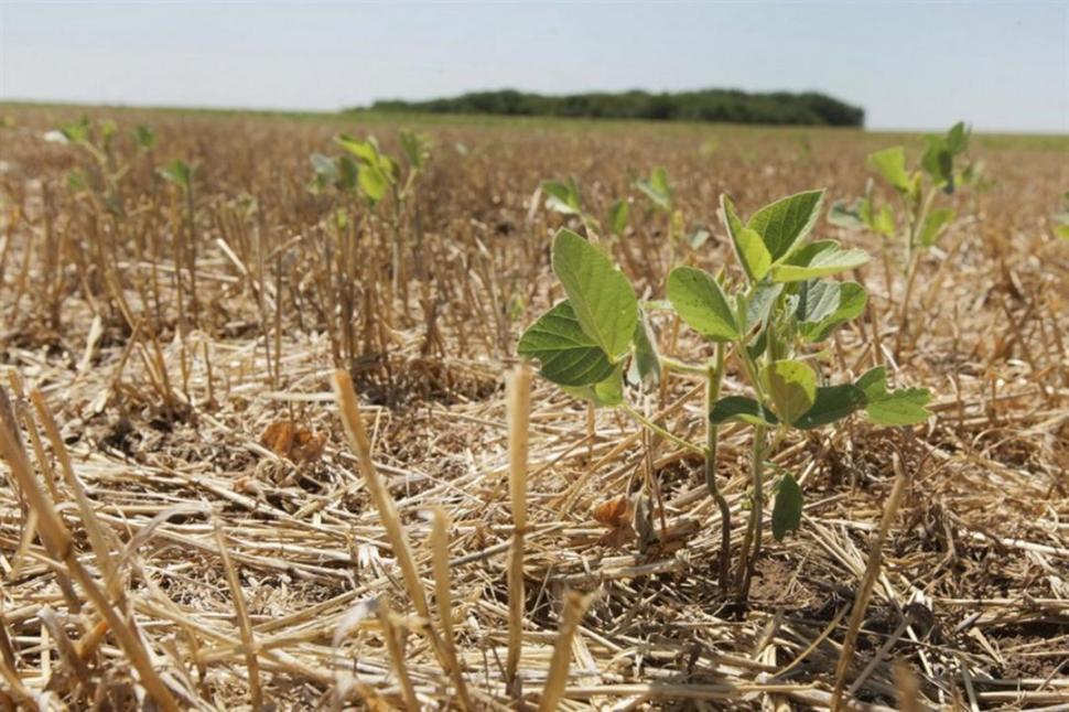 EFECTOS. El cultivo de soja sufriría importantes pérdidas en su rinde. la nación