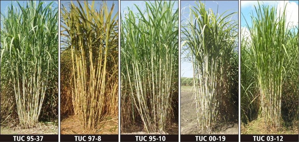 FIGURA 3. Cepas de las variedades de caña TUC95-37, TUC95-10, TUC97-8, TUC00-19 y TUC03-12, implantadas en el área cañera de Tucumán.