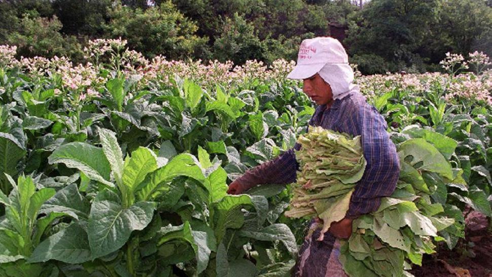 MINIFUNDISTAS. En Tucumán hay alrededor de 1.500 pequeños tabacaleros.
