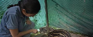 Horco Molle, un laboratorio para devolver el tapir a la Argentina