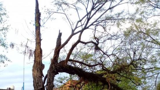 Un viejo árbol en una avenida del parque 9 de Julio amenaza con caerse
