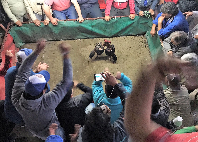 Riña de gallos, el ritual que divide pasión y tradición con lo clandestino y prohibido