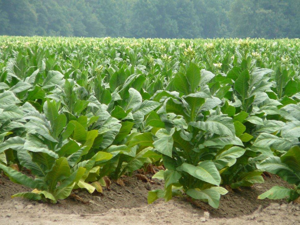 Productores tabacaleros piden al Gobierno que permita la fabricación de cigarrillos