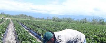 A base de hojas de frutilla, logran en Tucumán un desarrollo tecnológico para el mundo