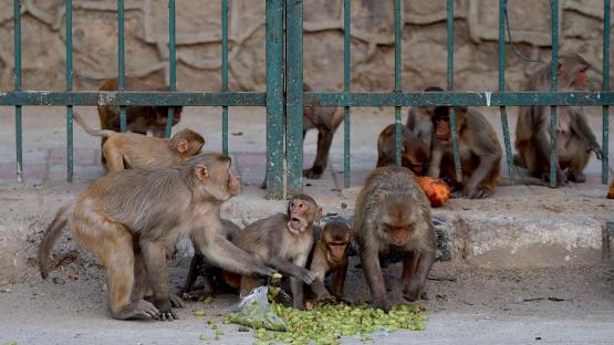 Monos ingresaron a un hospital de India y robaron muestras de pacientes con coronavirus