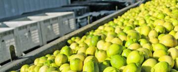 Por un hongo, suspenden la venta de limones hacia la Unión Europea