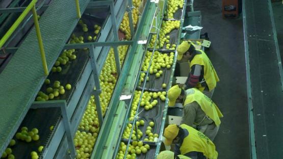 Cierran la exportación de limones a la UE