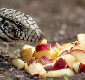 Los misterios de los lagartos overos y de sus huevos