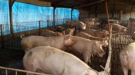 Prevén aumentar 300.000 cerdos madre en cuatro años