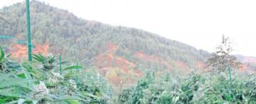 Cosechar marihuana en California, la nueva meca del trabajo golondrina para muchos tucumanos