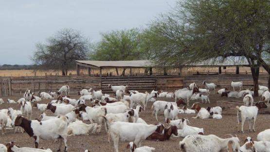 En Taco Ralo crían cabras para exportar a Medio Oriente